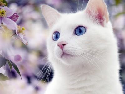 Порода кошек с голубыми глазами и белой шерстью