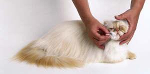 Хмурый персидский кот