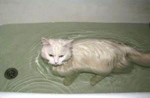 Белая кошка сама купается в ванной