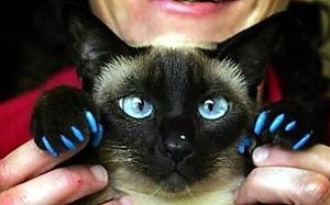 Черная кошка с голубыми глазами