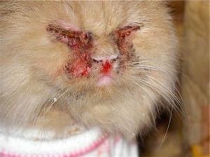 как передается кальцивироз у кошек