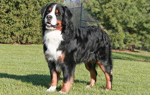 большие собаки породы фото и названия