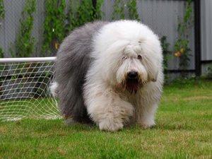 порода собак бобтейл фото