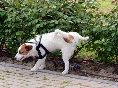 Как приучить щенка к туалету дома или на улице