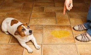 Собака и лужа на полу в доме