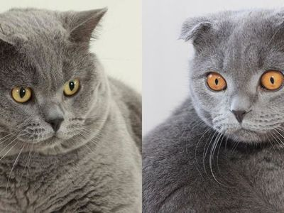 Разница между британскими и шотландскими котами