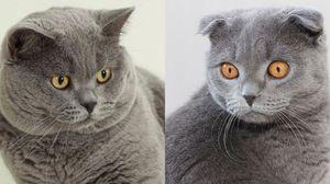 и фото британцы кошки. шотландцы