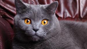 Британский короткошерстный кот, большие глаза - фото крупно