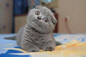 Милы серый шотландский котенок