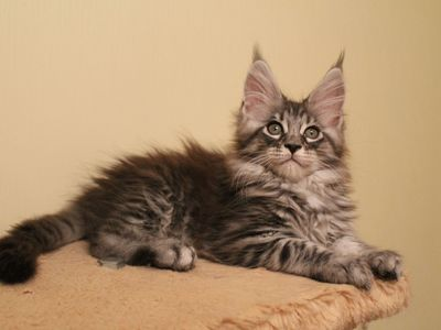 Кормление котёнка породы мейн-кун по месяцам: необходимый рацион