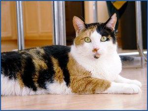 Бывают ли трёхцветные коты?