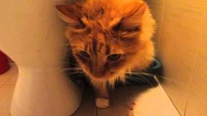 Лечение Идиопатического цистита у котов