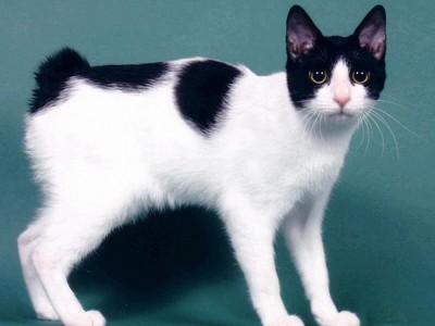 Японские кошки породы