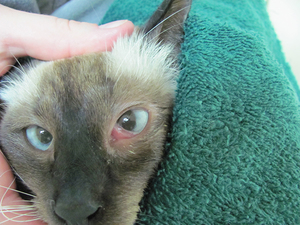 Лечение хламидиоза у кошек