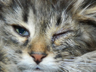 Почему у кошки слезится один глаз что делать
