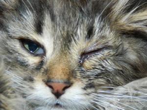Причины слезотечения у кошки