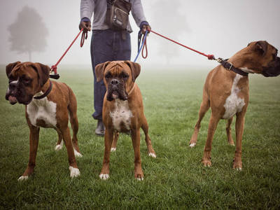 Самая сильная порода собак