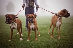 Самые сильные собаки - породы