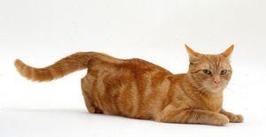 Сколько времени длится течка у кошек