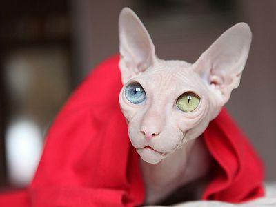 Особенности содержания кошек породы сфинкс или лысых котов
