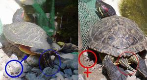 Сколько живут красноухие черепахи в домашних условиях 70