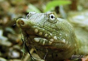 Как кормить черепаху трионикс