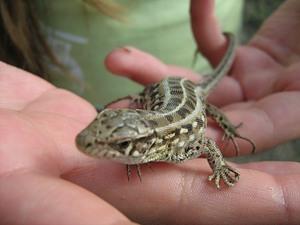 Чем кормить ящерицу пойманную обычную в домашних условиях
