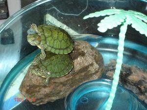 Разведение черепах в домашних условиях