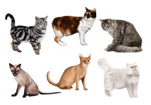 как по фото определить породу кошки