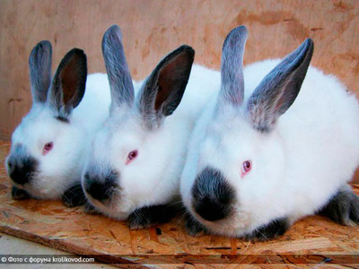 Описание породы и особенности разведения калифорнийского кролика