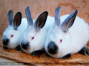 Выращивание кроликов в калифорнийских 36