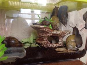 аквариум для ахатины фото