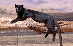Описание черной пантеры
