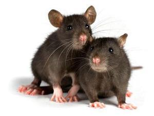 Картинки по запросу Виды и достоинства домашних крыс