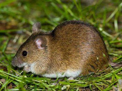 Какую опасность для человека представляет лесная мышь