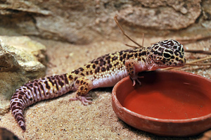 Пятнистый леопардовый эублефар - рептилия дома