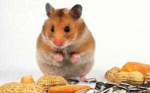 Как правильно кормить хомячка