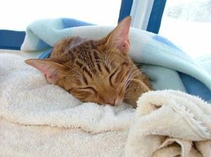 Мочекаменная болезнь - нередкое явление у котов