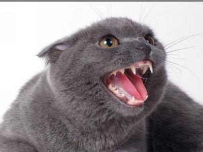 Количество зубов у кота