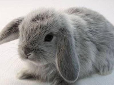 Карликовый кролик вислоухий баран разведение
