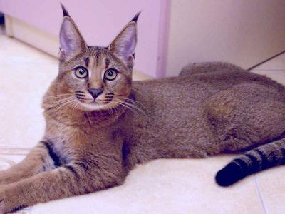 Порода кошек как рысь