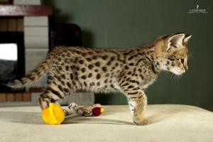Описание редкой породы кошек