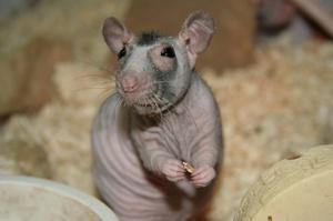 Как часто нужно убирать в клетку с крысой Сфинкс