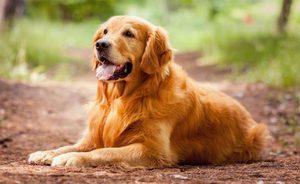 порода собак золотистый ретвилер