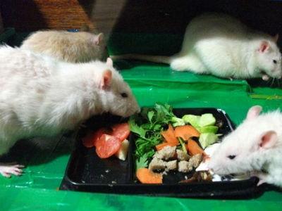 Кормление декоративных крыс