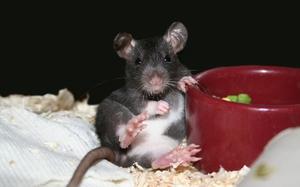 Продукты питания для крыс