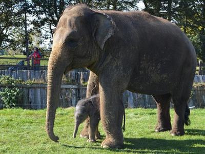 Средний размер слона