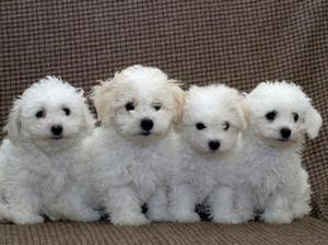 комнатные собаки фото
