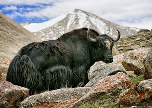 Дикий тибетский як