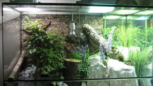 Как выращивать ящерицу в домашних условиях?